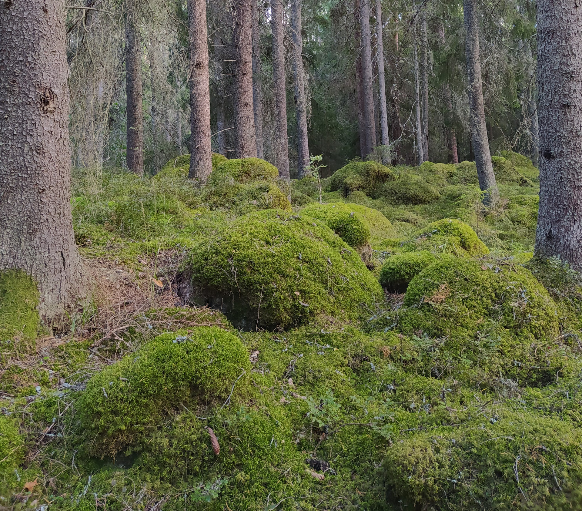 The understory of a boreal forest.jpg
