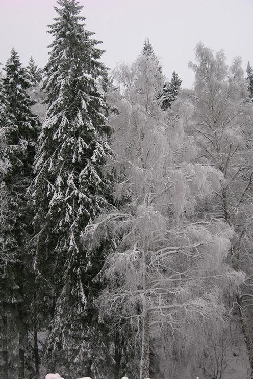 vinterträden.JPG