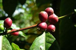 Coffea arabica i A21_b.JPG