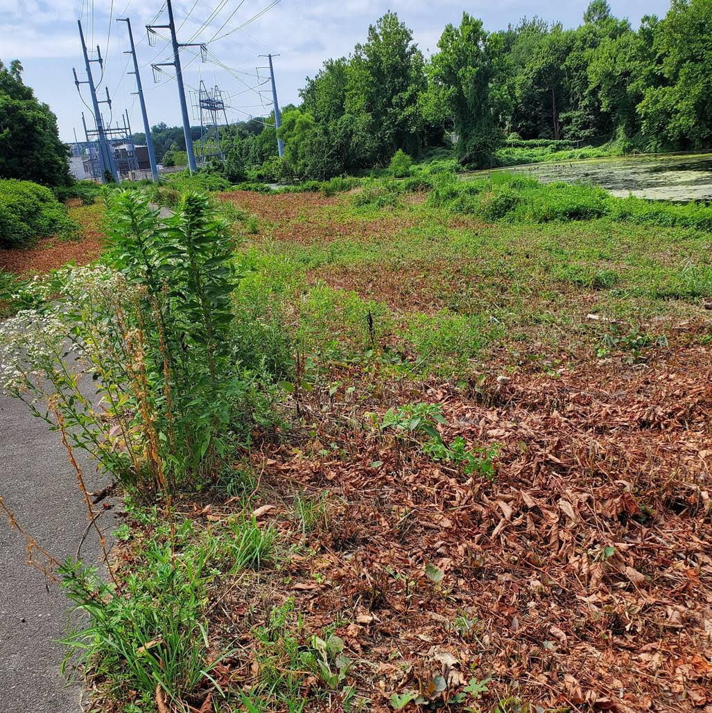 Knotweed Cleanup Day