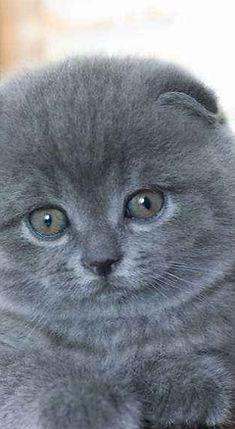 scotish kittens for