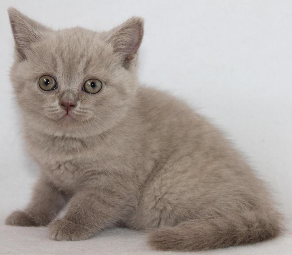 Available Kittens | Kittens For Sale | Scottish Fold Kitten