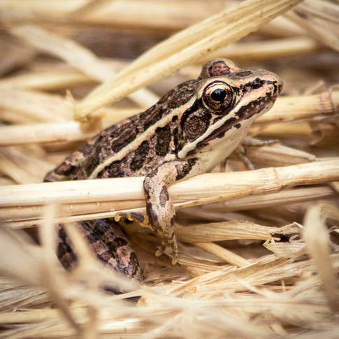 Leopard Frog in the straw.
