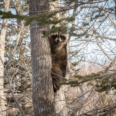 Acadia Raccoon.