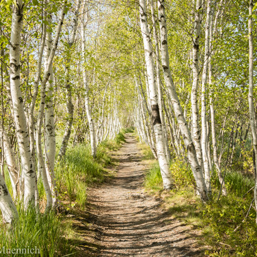 Jesup Path Birches