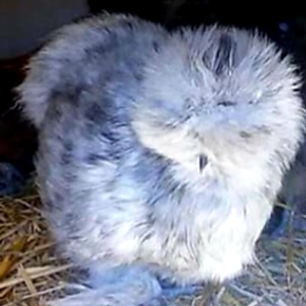 Assorted Silkie Hatching Eggs