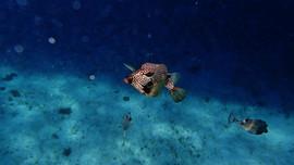 box fish.JPG