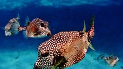 box fish close up.JPG