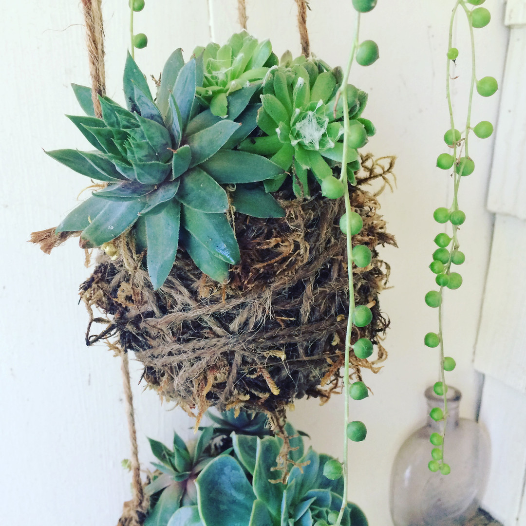 Succulent kokedamas