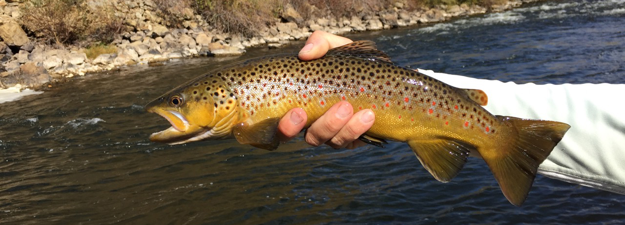 Venlet_Brown Trout