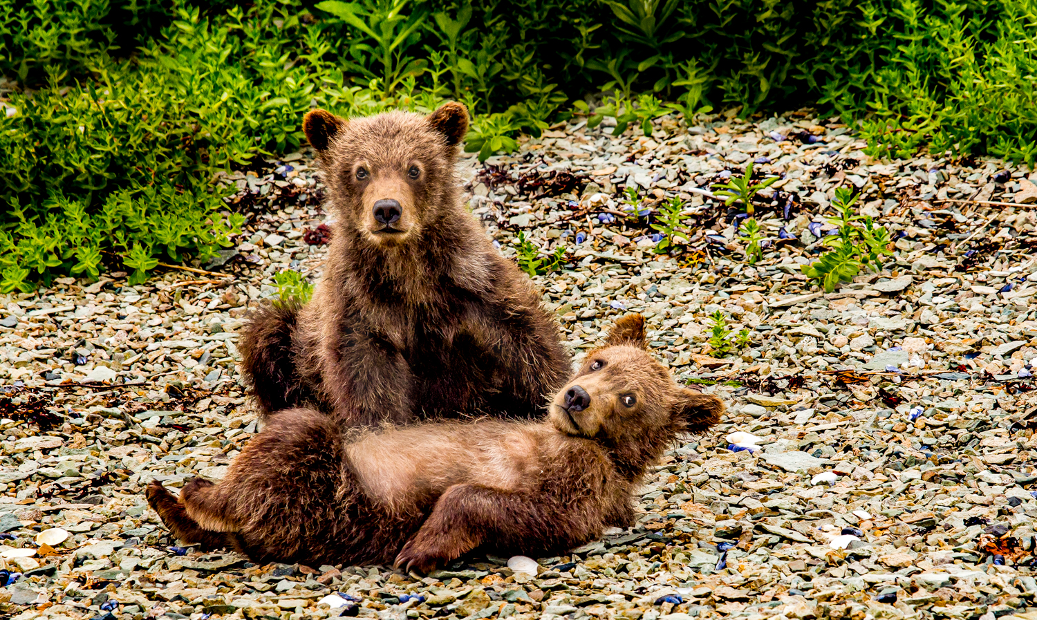Brown bear sibling cubs.