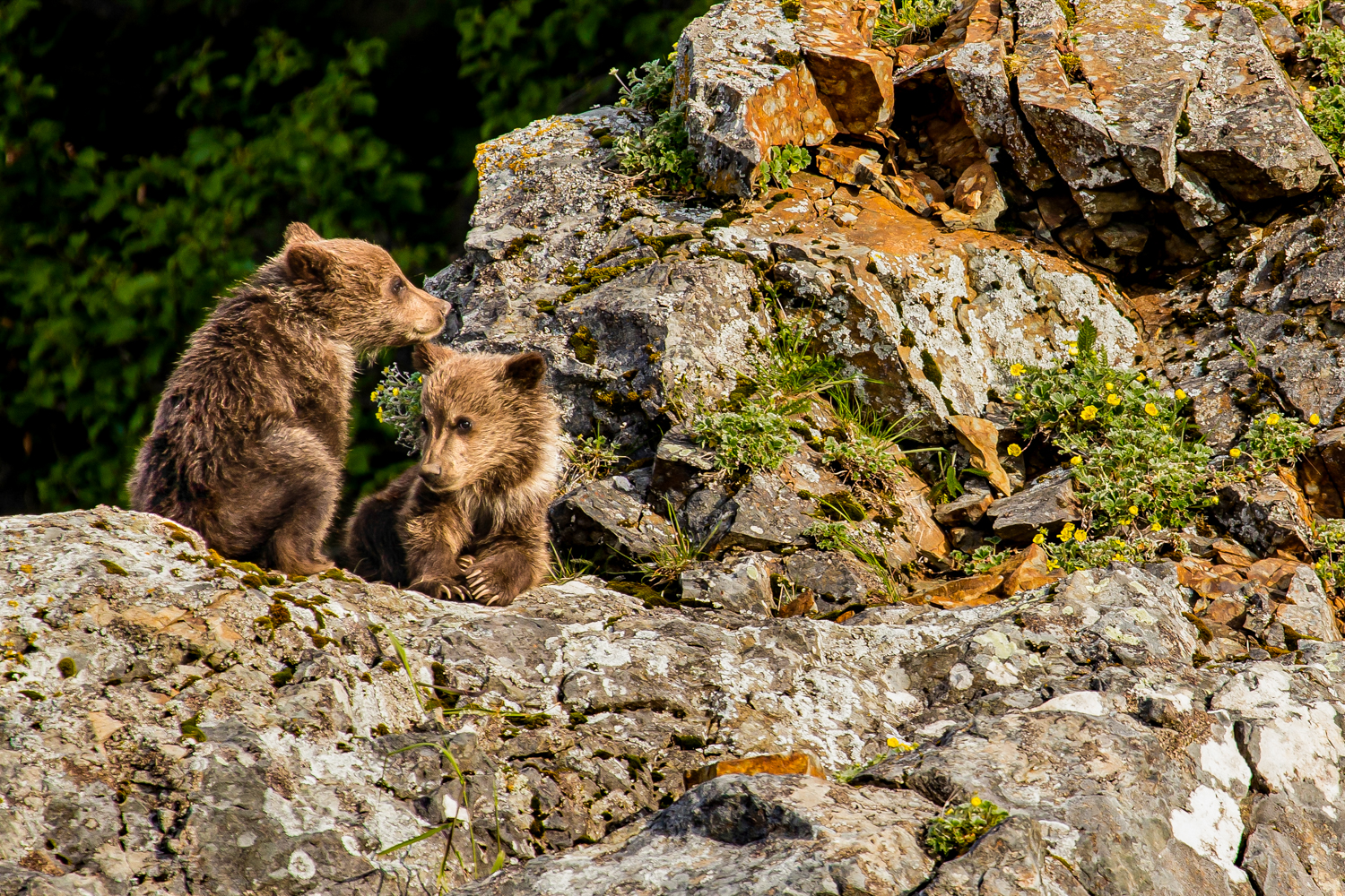 Brown bear spring cubs