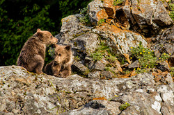 Brown bear spring cubs