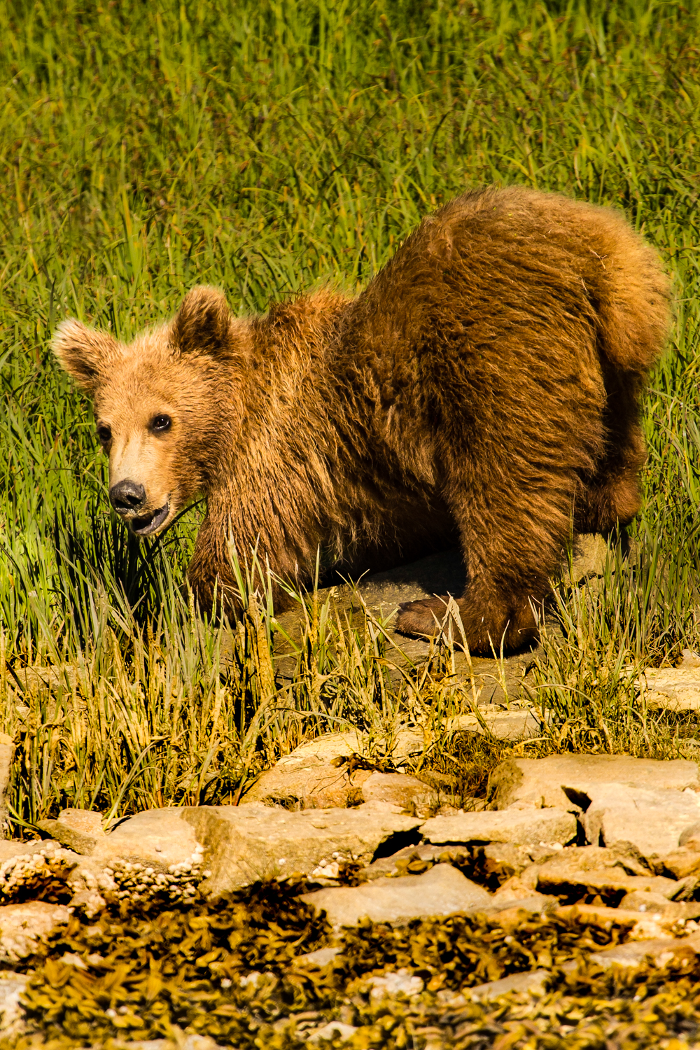 Yearling bear cub.