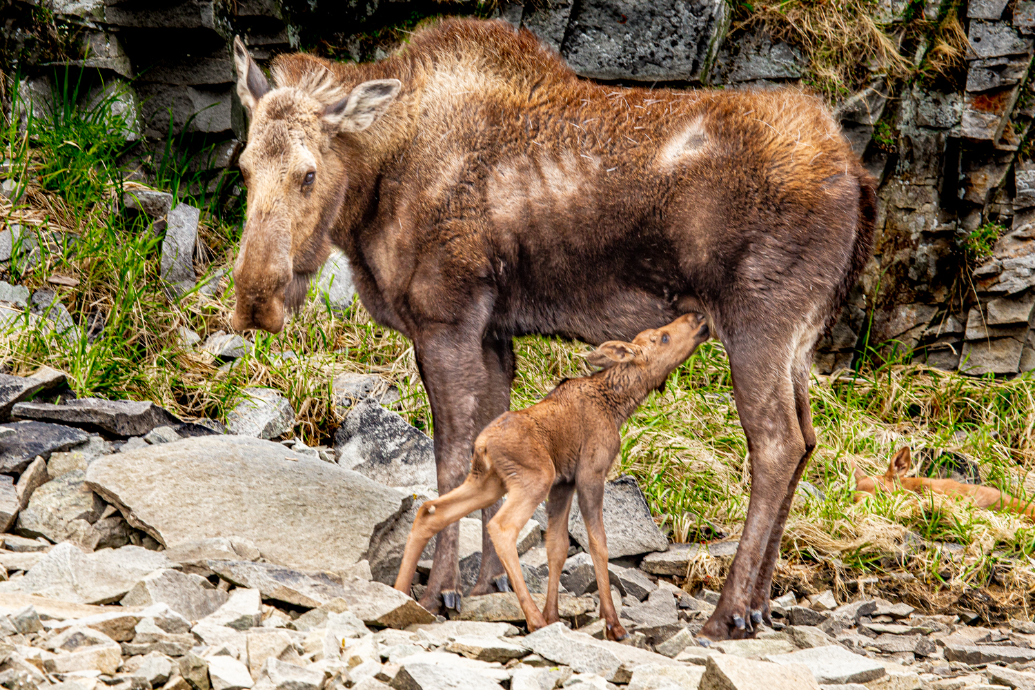 Nursing moose calf and mother.
