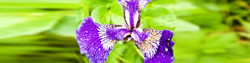 h2-iris1.jpg