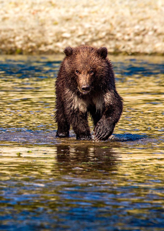 Spring bear cub.