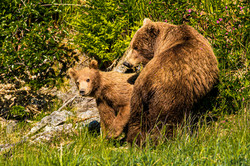 Brown bear cub and mom.