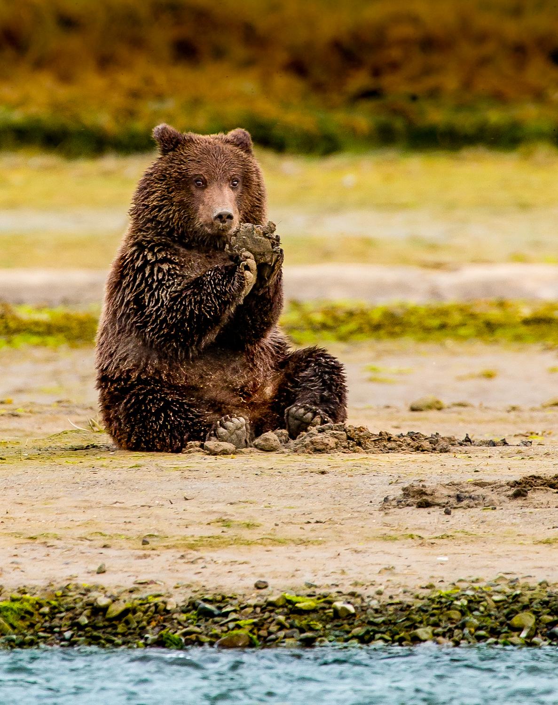 Healthy spring bear cub.