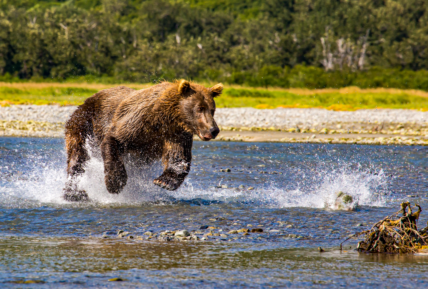 A grizzly brown bear fishing