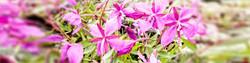 h2-pinkyflowers1.jpg