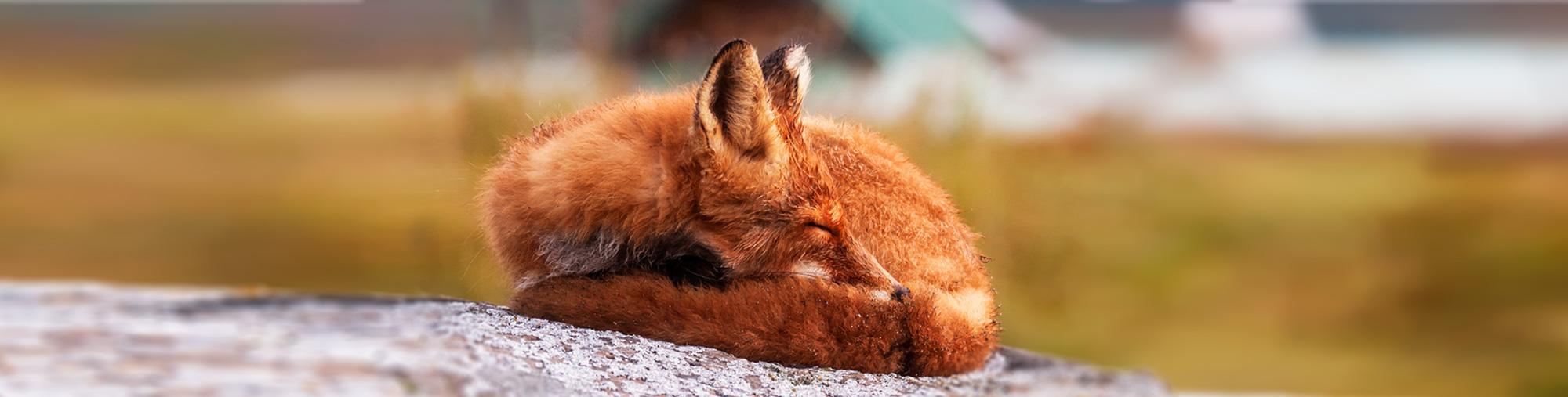 h2-foxsleep.jpg
