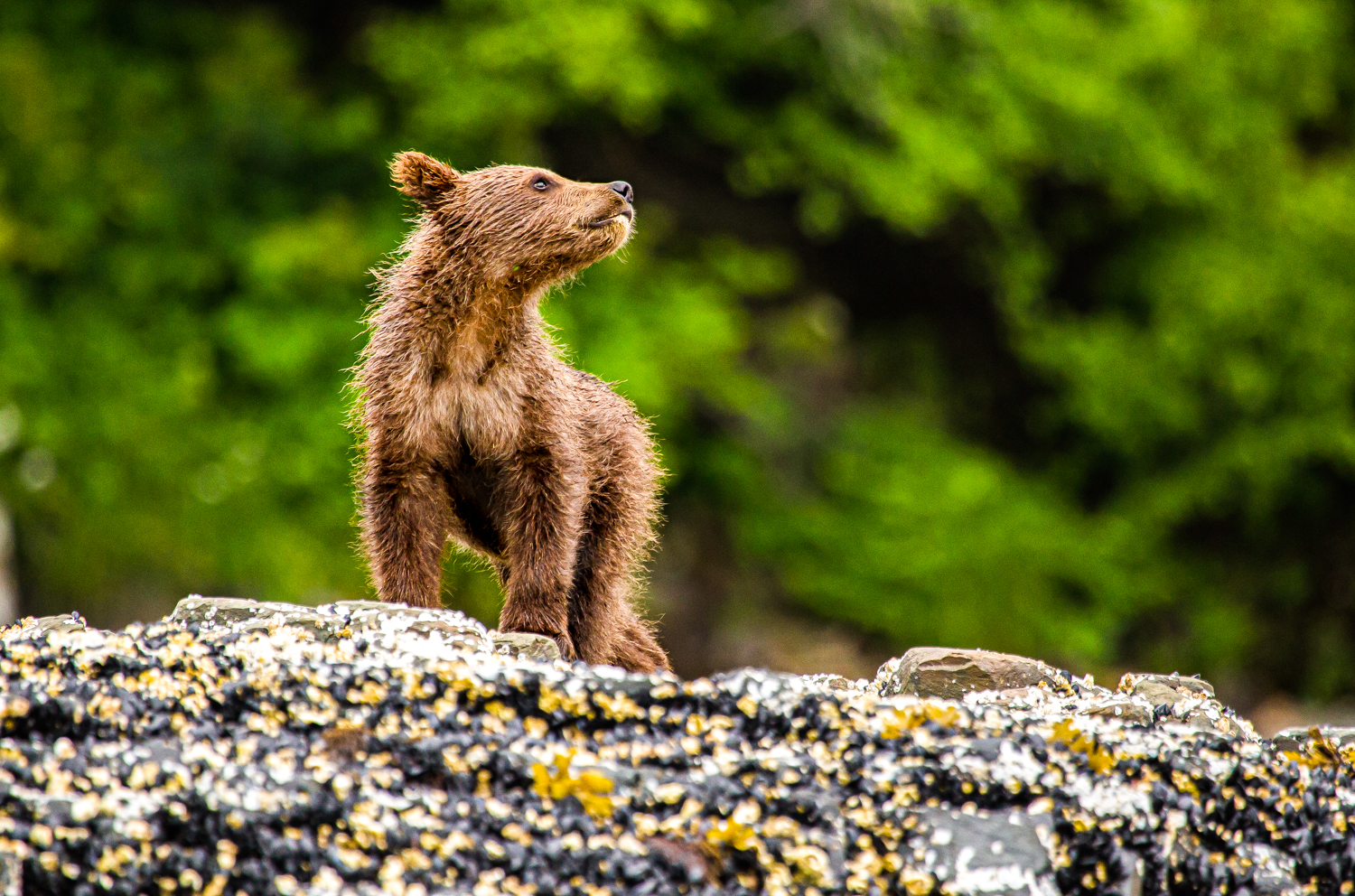 Coastal grizzly brown bear cub