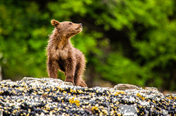 Coastal grizzly brown bear cub