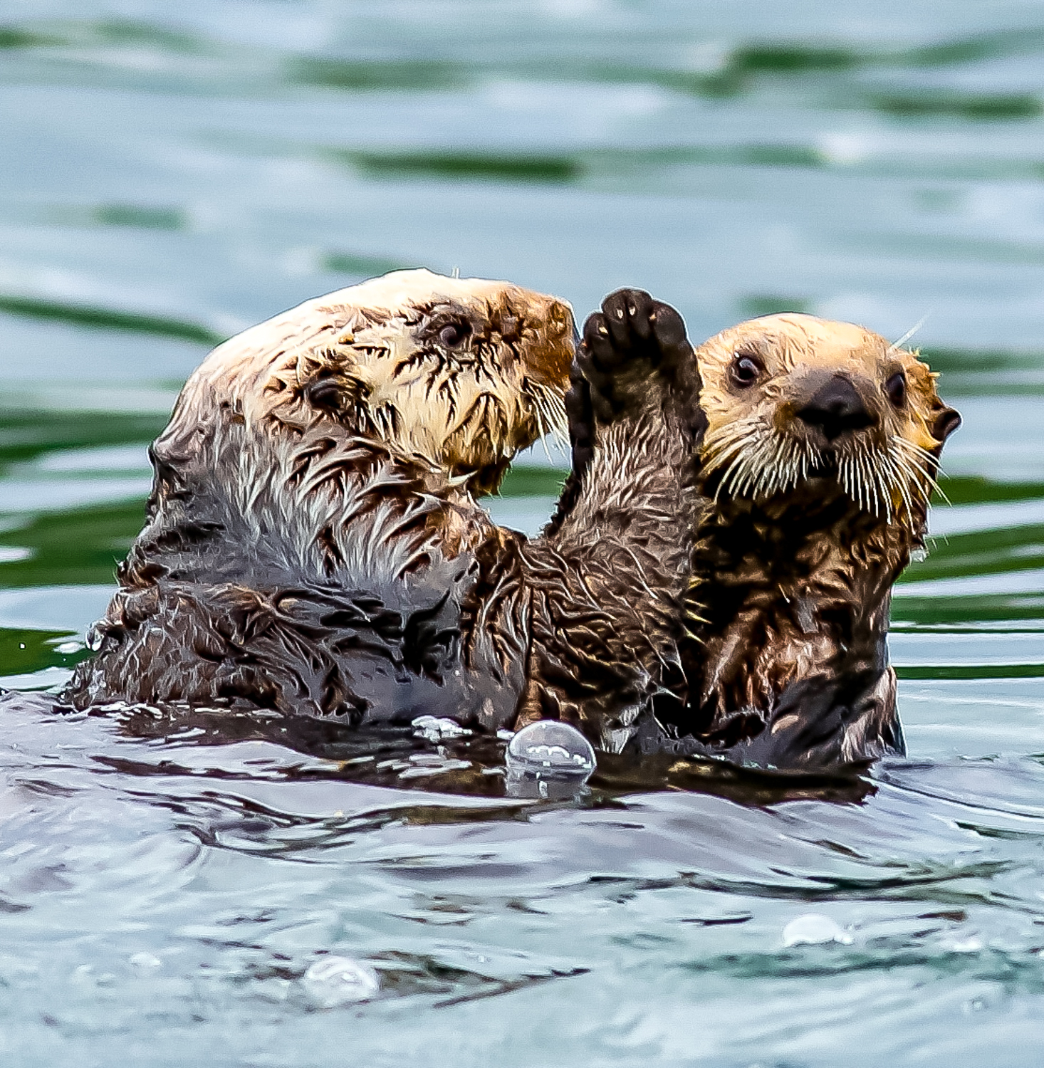 Sea otters telling secrets.