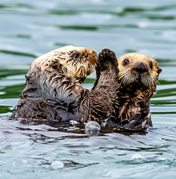 Sea otters telling secrets.
