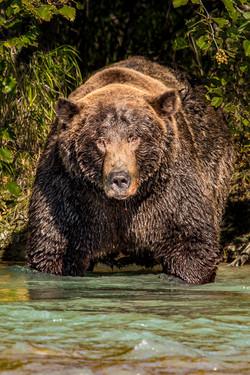 Large brown bear.
