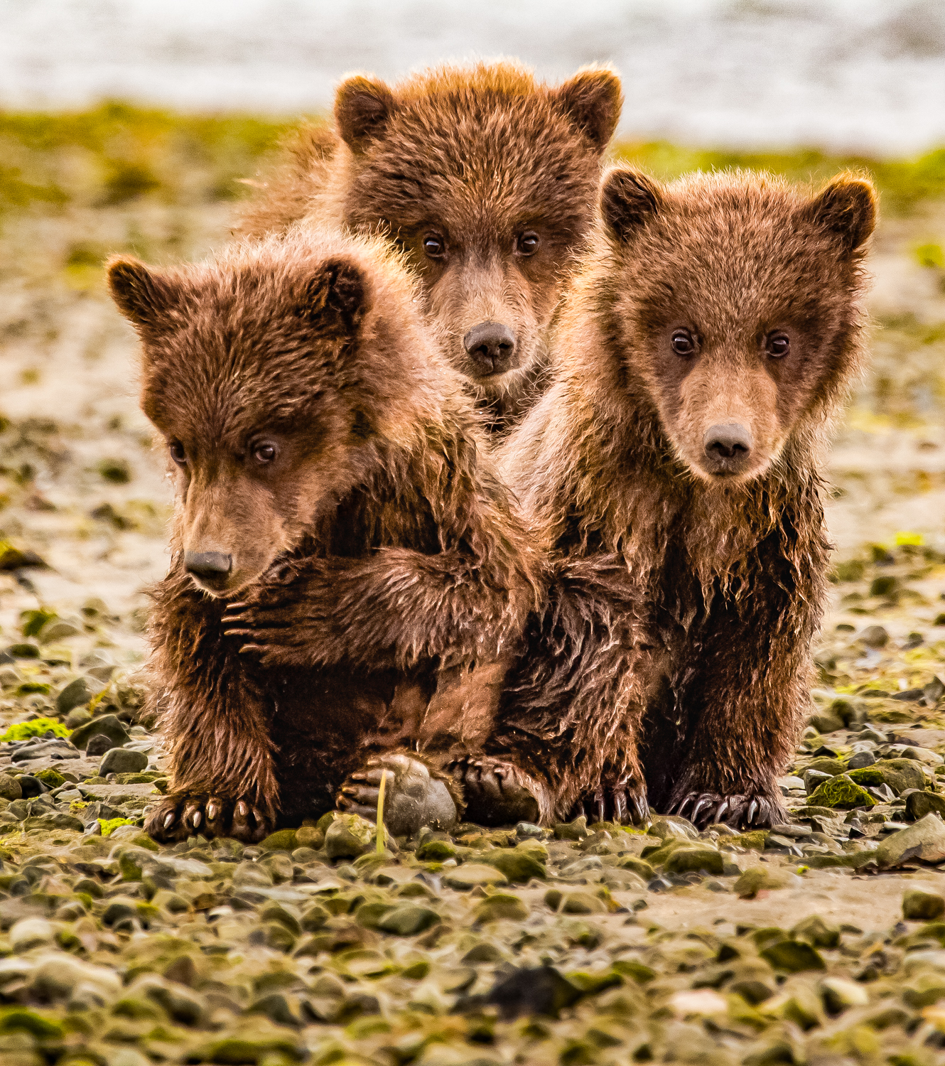 Adorable spring bear cubs.