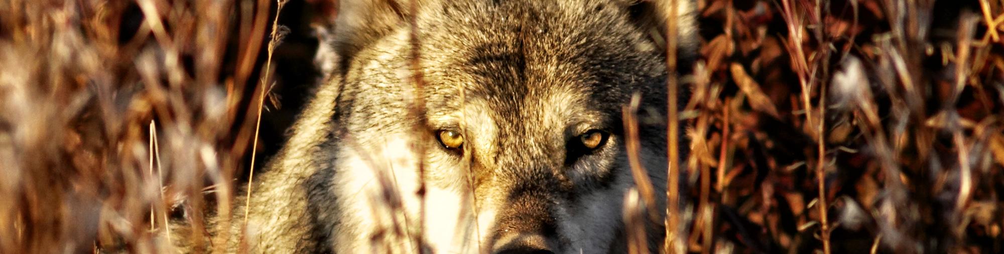 h2-wolf4CU.jpg