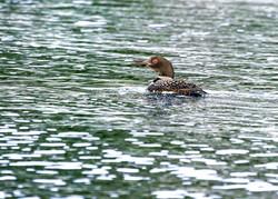 Common loon.