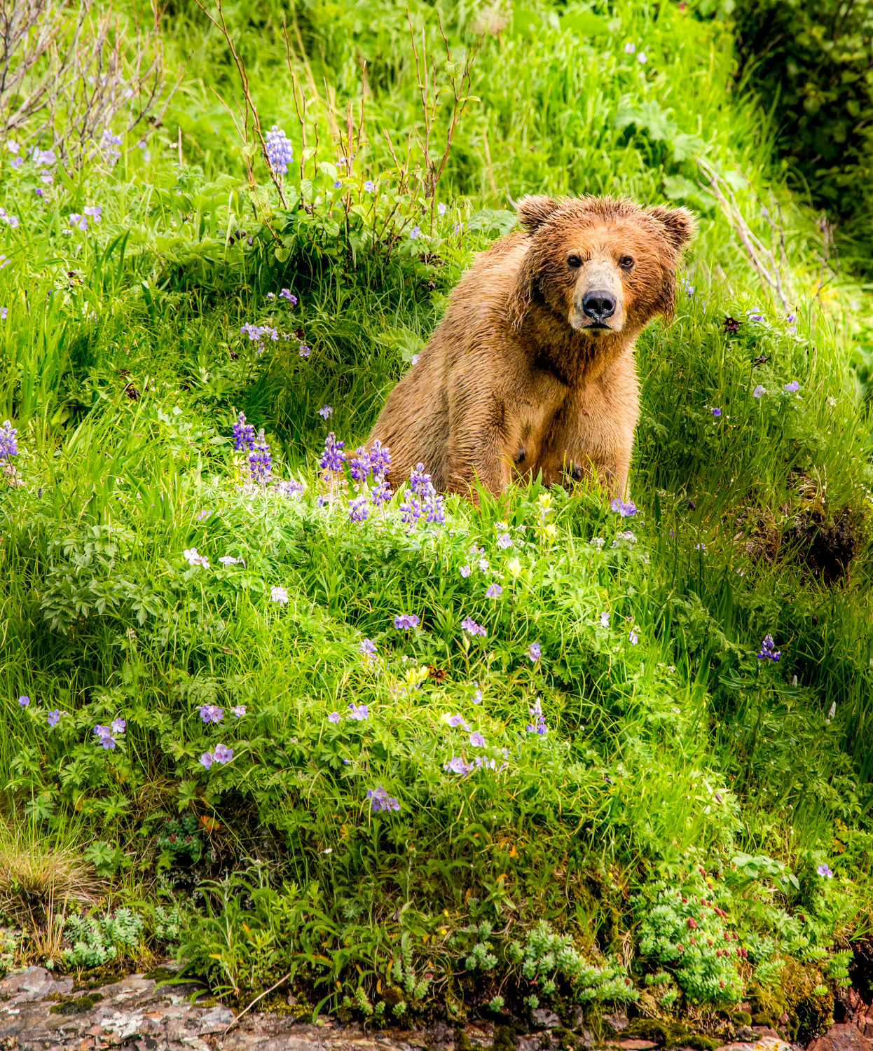 Coastal brown bear.