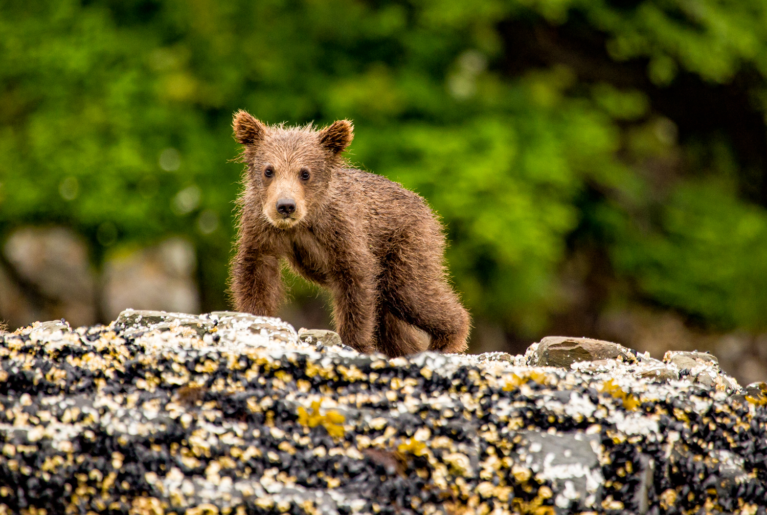 Coastal grizzly bear cub. Cute!