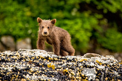 Coastal grizzly bear cub. Cute!