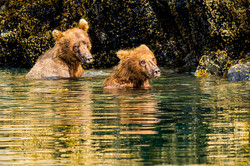 Grizzly brown bears