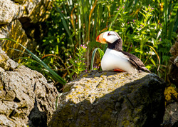 Horned Puffin.