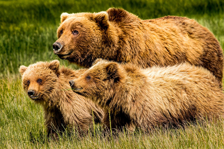Coastal brown bear sow and cubs.