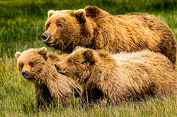 Coastal brown bear sow and cubs.