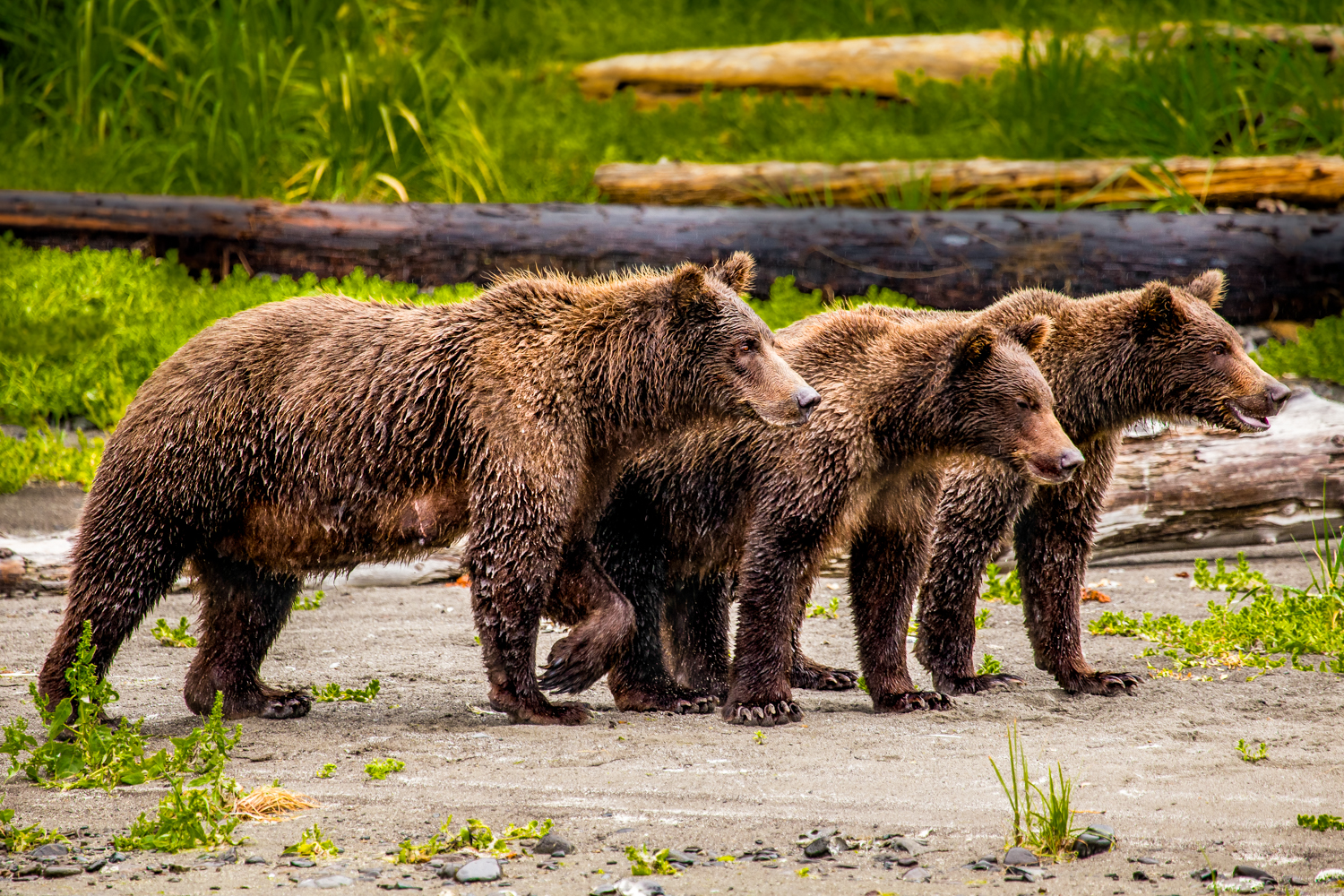 Three yearling bear cubs