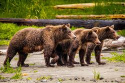 Three yearling bear cubs