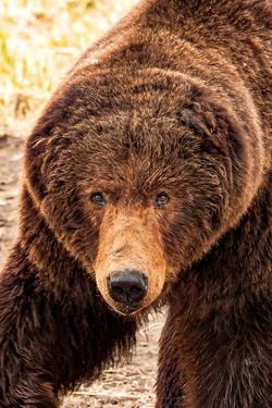 No ear brown bear.