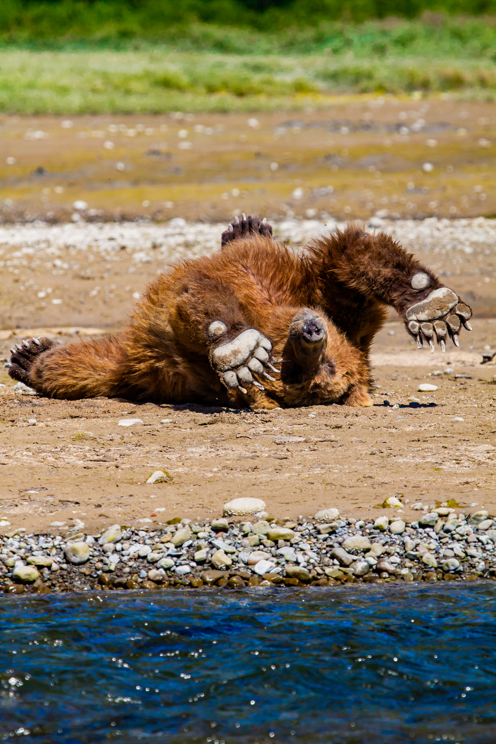 Grizzly brown bear stretch.
