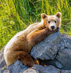 Subadult brown bear.