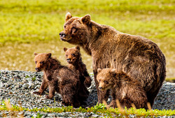 Grizzly brown bear sow and cubs