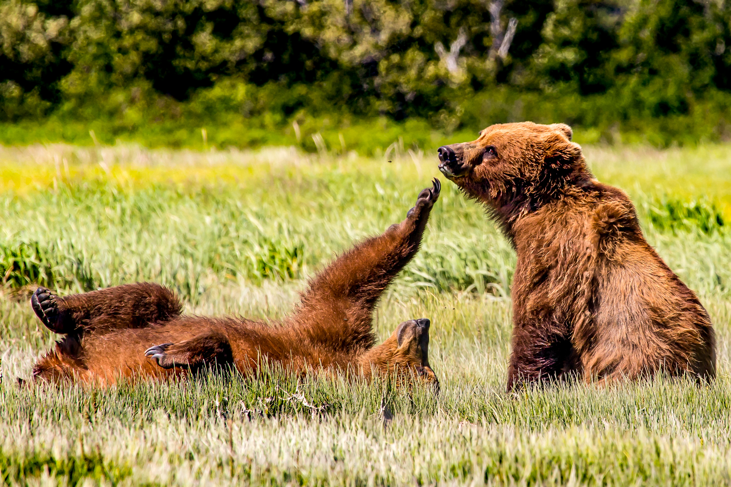 Courting brown bears.