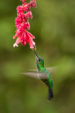 2019RFNHM_PDI_131 - Green Crowned Brilliant Humming Bird by Pamela Wilson. Commended