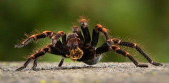 2019RFNHM_PDI_074 - Orange Knee Tarantula - Costa Rica by Pamela Wilson. Commended